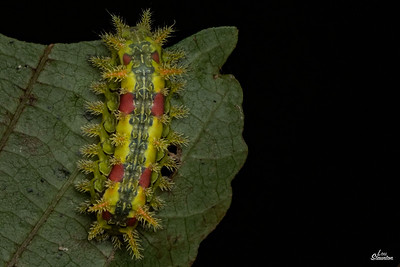 Spiny Oak Slug Caterpillar in U.S. (Lepidoptera: Limacodidae:Euclea delphinii)