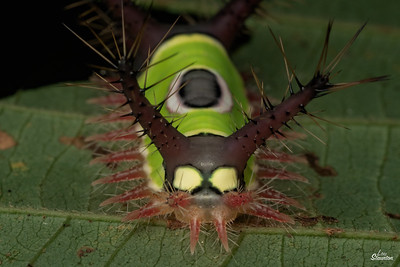 Saddleback Caterpillar in Costa Rica . Longer spikes than A. stimulea. (Lepidoptera: Limacodidae: Acharia sp. perhaps hyperoche)