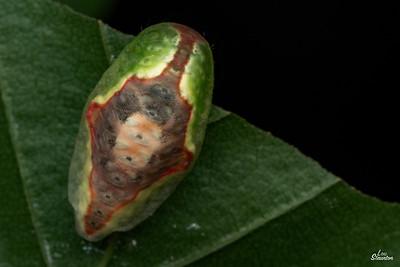 Red-crossed Button Slug Caterpillar in U.S. (Lepidoptera: Limacodidae: Tortricidia pallida)