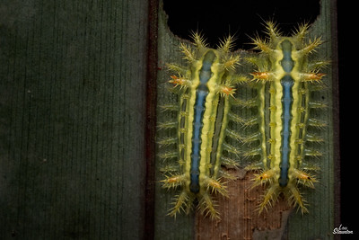 Blue-striped Nettle Grub Slug Caterpillars in Singapore (Lepidoptera: Limacodidae: Parasa lepida)