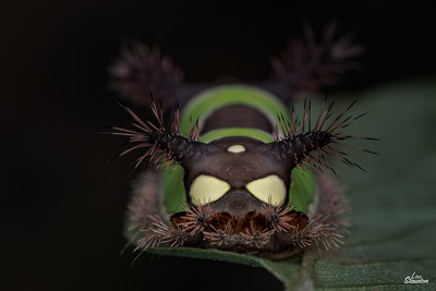 Saddleback Caterpillar in U.S.  aka Psycho Space Terrier. Fake eyes on butt. (Lepidoptera: Limacodidae: Acharia stimulea)