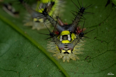 Saddleback Caterpillar in Costa Rica. Young instars. (Lepidoptera: Limacodidae: Acharia sp. perhaps hyperoche)