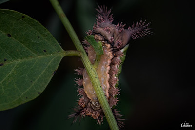 Saddleback Caterpillar in U.S.  Showing off his belly. (Lepidoptera: Limacodidae: Acharia stimulea)