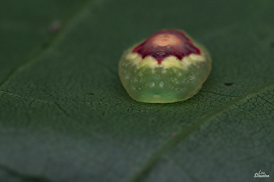 Red-crossed Button Slug Caterpillar in U.S. (Lepidoptera: Limacodidae: Tortricidia pallida)