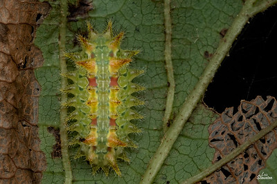 Spiny Oak Slug Caterpillar in U.S. Early instar. (Lepidoptera: Limacodidae:Euclea delphinii)