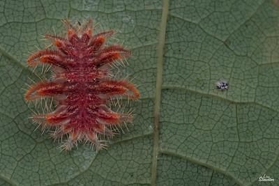 Monkey Slug Caterpillar in U.S. Earlier instar. (Lepidoptera: Limacodidae: Phobetron pithecium)