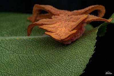 Monkey Slug Caterpillar in U.S. (Lepidoptera: Limacodidae: Phobetron pithecium)