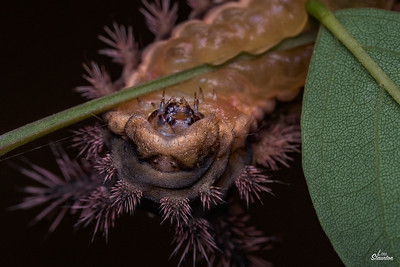 Saddleback Caterpillar in U.S.  Showing his head. (Lepidoptera: Limacodidae: Acharia stimulea)