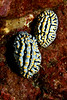 A pair of mating Fried Egg nudibranchs, phyllidia varicosa, Big Island, Hawaii, Pacific