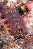 Blue Dragon nudibranch, Pteraolidia ianthina, Red Hill, Big Island, Hawaii, Pacific