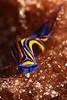 Blue swallowtail, chelidonura hirundina, Big Island, Hawaii, Pacific