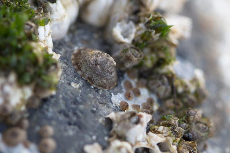 Unidentified Limpet (Gastropoda)