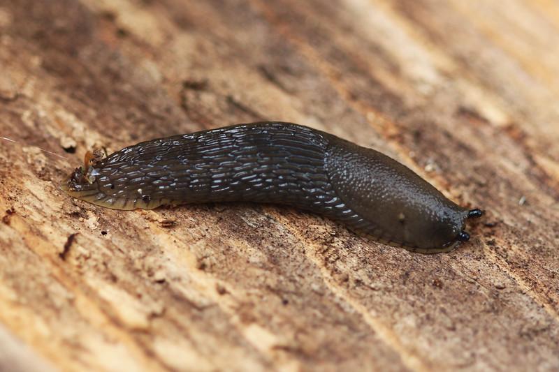 Unidentified Slug (Gastropoda)