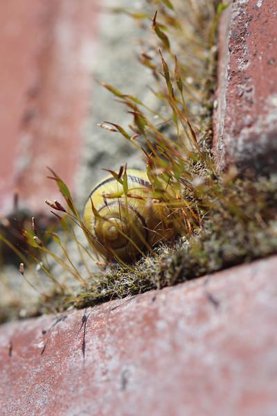 Unidentified Snail (Gastropoda)