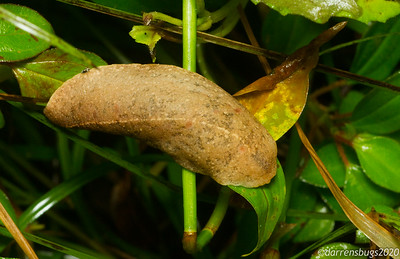 This large slug from Puerto Rico does an admirable impression of a dead leaf.