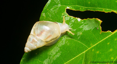 A lovely porcelain-esque terrestrial snail from Panama.