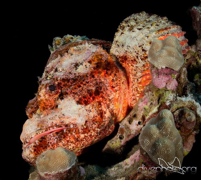 Nohu, the titan scorpionfish