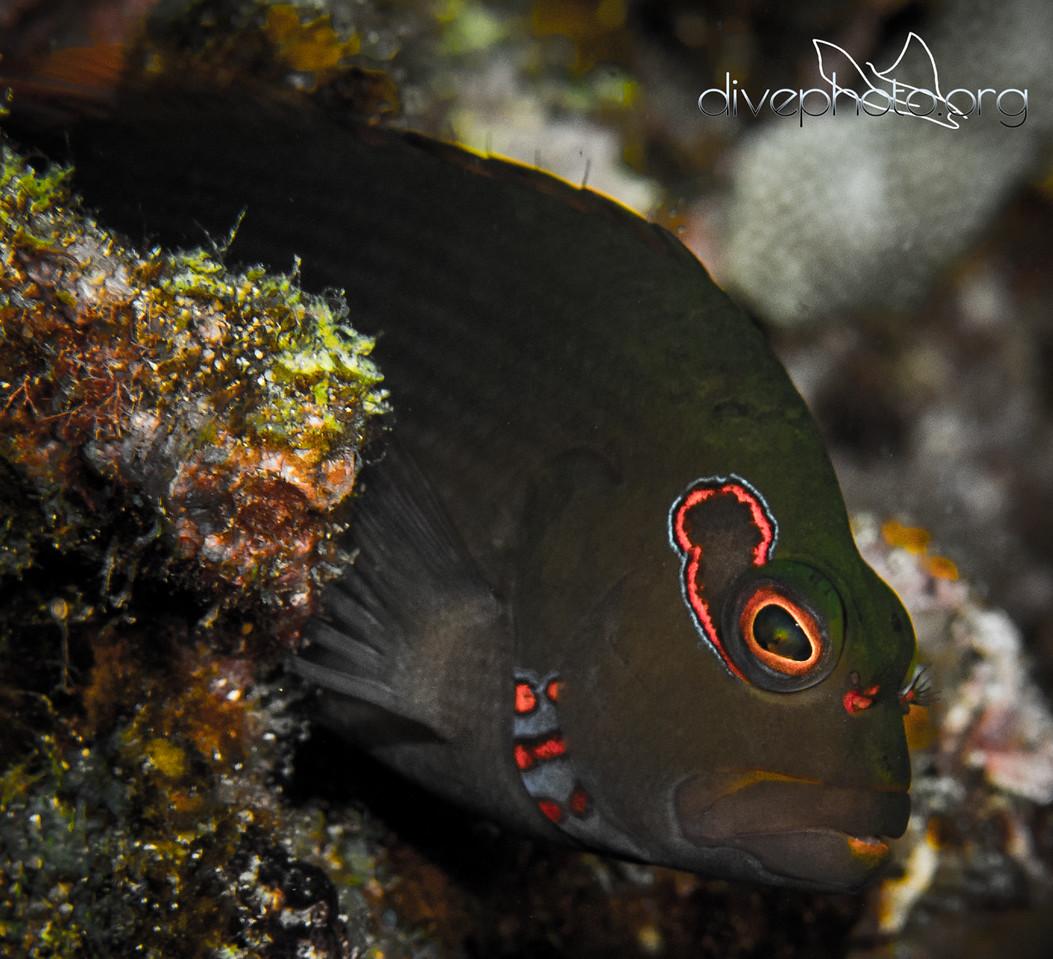 Black arc-eye hawkfish