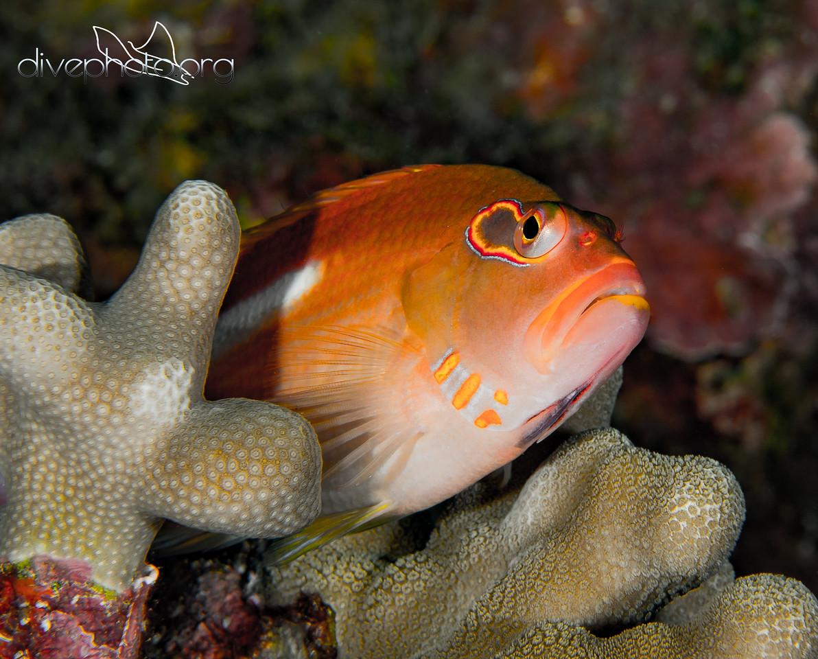 Arc-eye hawkfish