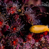 Nudibranch and anemones