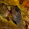 White spotted puffer sleeps with nudibranch