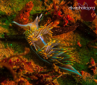 Nudibranch at Monterey Bay, California