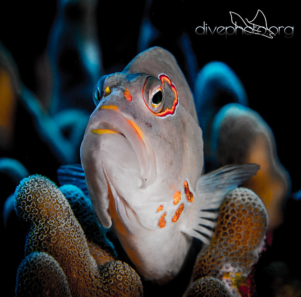 Arc-eye hawkfish at Papa Bay, Hawaii Island
