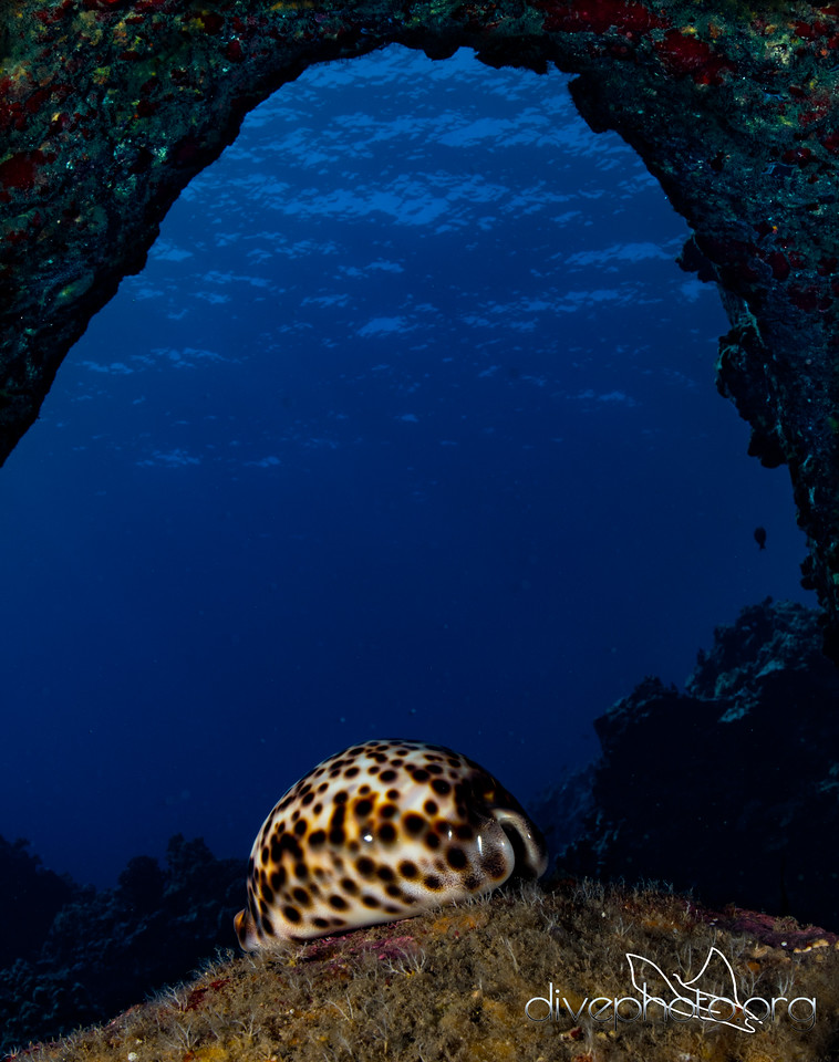 Tiger cowry in Ulua Cavern, Hawaii Island