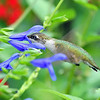 Hummer with Salvia