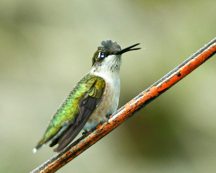 Young hummingbird on perch.