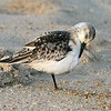 Sleepy Sanderling.