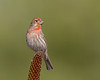 House Finch,Carpodacus mexicanus