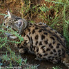 Black-footed Cat aka Small Spotted Cat