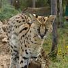 Serval,