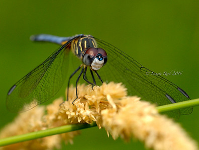 Blue dasher dragonfly.