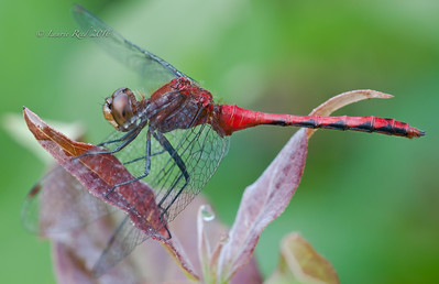 Meadowhawk dragonfly.