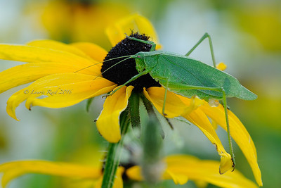 Katydid on black-eyed susan.