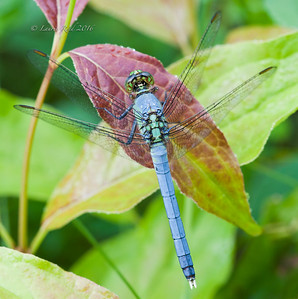 Male eastern pondhawk dragonfly.