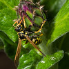 Eoropean Paper Wasp