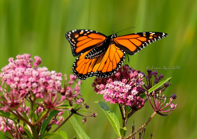 Monarch butterfly landing on milkweed flowers.