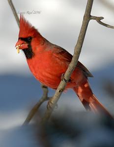 Male cardinal enjoying lunch.