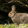 Snowshoe Hare-Summer