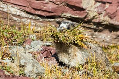 Hoary Marmot Gathering Grass