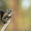 """Sing Like No One Is Listening""-Red Squirrel-Montana"