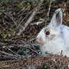 Snowshoe Hare in Transition (winter to spring)