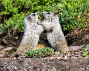 Baby Hoary Marmots at Play