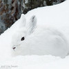 In Its Element (snowshoe hare)