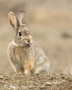 Mountain Cottontail #2