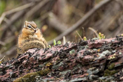 Least Chipmunk-Glacier National Park
