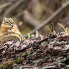 Least Chipmunk-Glacier National Park